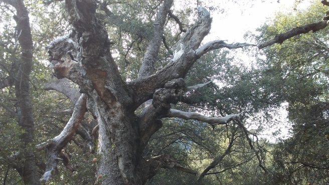 gnarly oak